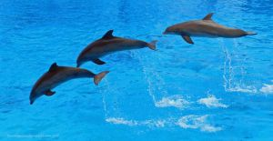 Flying Dolphins by artamusica