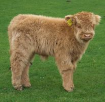 Highland Longhorn Calf by mad1dave
