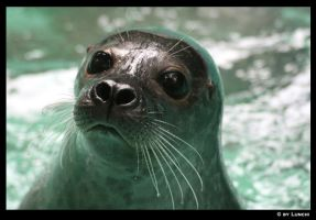 The cutest seal by Lunchi