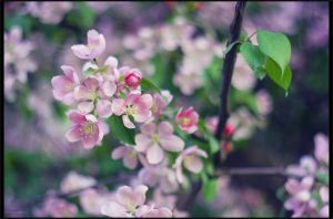 Malus prunifolia 3 by restive-wench