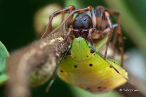 Ground Spider eating a Stink Bug by melvynyeo