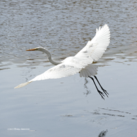 Egret in flight square by Mogrianne