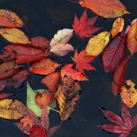 leafs in the pond by augenweide