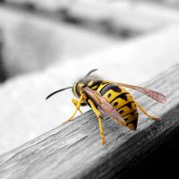Wasp by LimpidD