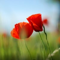 Pure Poppy by kabbi