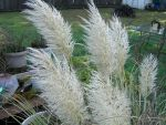Pampas feather 2 by FlyingFox-Bat