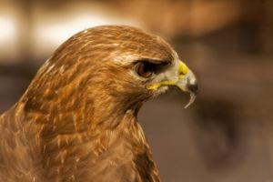 Golden Eagle by dolcesunset