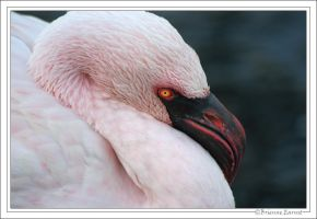 Lesser Flamingo portrait II by oOBrieOo
