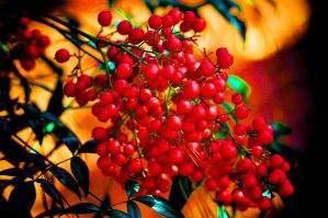 More Holiday Berries by Tailgun2009