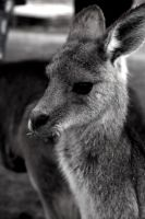 Little Kangaroo by hextakeshold