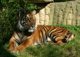 Tiger by Parides