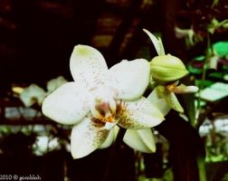 Orchids by gombloh75