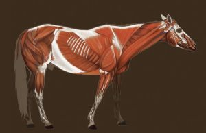 Horse Muscles by PodwojneD