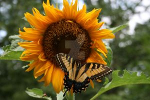 Butterfly and Sunflower by KDCSnap