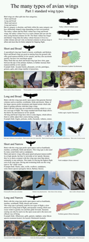 The many types of avian wings. part 1 by camelpardia