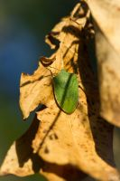 A green bug by MCL28