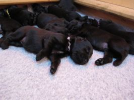 Pile of Puppies by Rikkanna