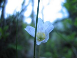 white flower by LadyWera
