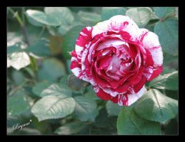 Guilty Rose by AllForHim1616