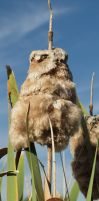 Cattail Owl by lenslady