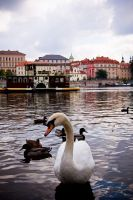Swan on the Vltava by Sicchan