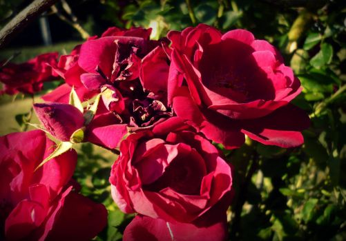 dark pink roses by Foreigner227