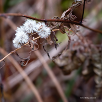 dried white flowers by Mogrianne