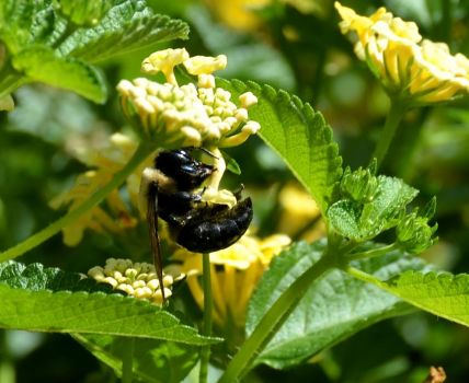 Bumble Bee Feeding by jules-101