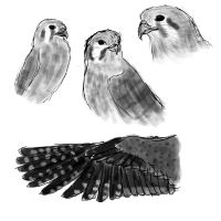 American Kestrel Sketches by twist-of-fate-16