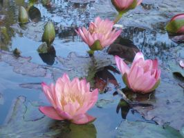 Water lilies III by godasleep