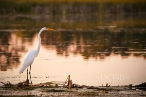 Egret in the Marsh by leavenotrase