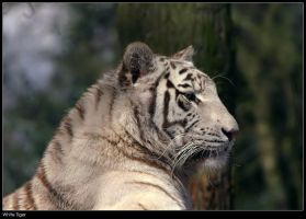 White Tiger by Dickie67