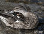 Green Winged Teal by SlateGray