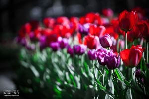 tulips of calgary by torobala