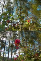 The garden of roses and  pine trees by brunaschneemann