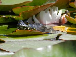 Toad on a Lily Pad by Samela7