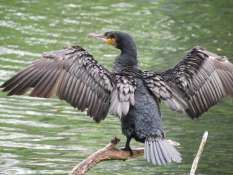 Great cormorant,(Phalacrocorax carbo) by lovelylollia