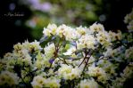 Rhododendron(II). by Phototubby