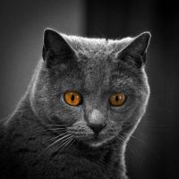 Bob le chartreux. by madlynx