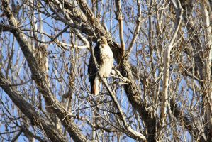 Red Tail Hawk - Maxwell National Wildlife Refuge by Shadow848327