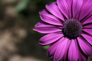 Purple Petaled by AlxBlack17