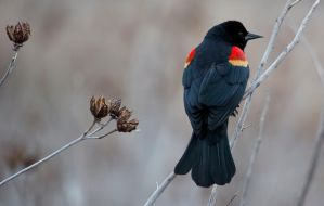 Red-winged Blackbird in a huff by Pharmagician