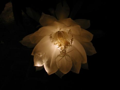 Nightflower Series, pic 2 by syn4ptz