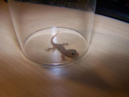 Gecko under a glass by GingaAkam