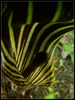Jack in the Pulpit by paledeath