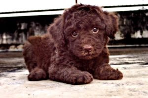 puppy Poodle 6 by WeiTat