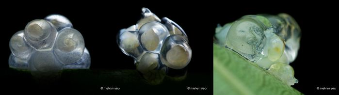Snail embryos by melvynyeo
