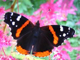 Red Admiral Butterfly 3 by darchiel
