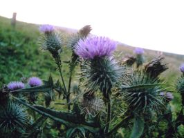 Thistles by pixievamp-stock