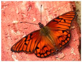 butterfly by tomegatherion